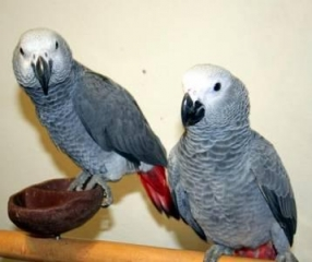Talking home raised baby african grey parrots for adoption