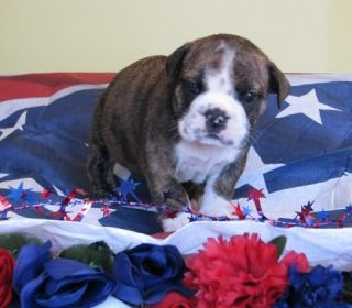 Available New Litters Bulldog Puppies