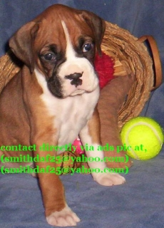 Pure Bloodline Boxer puppies for sale