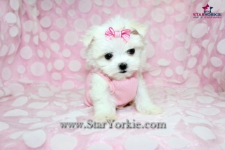 Teacup Maltese Puppies Available Now!!!