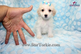Tiny Teacup Maltipoo Maltese  Poodle Puppies Available Now around Los Angeles