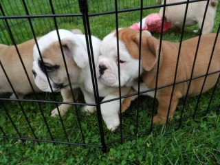 Bred for quality and conformity English bulldog puppies
