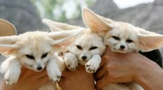 Savannah kittens,Fennec Foxes,and other Exotic Pets for sale.
