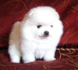 Tea cup Pomeraniann puppies for adoption