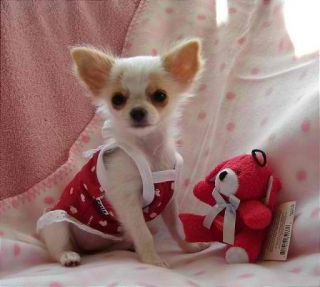 Adorable Male And Female Chihuahua Puppies For Free