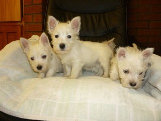EXCEPTIONAL WEST HIGHLAND TERRIER PUPPIES FERNLEY For sale Las Vegas