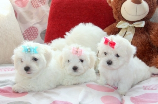 Puppies that stay small forever for sale united states for Tiny puppies that stay tiny for sale
