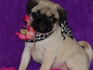 lovely pug puppies for homes