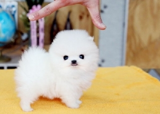 Teacup Pomeranian Puppies Available 909 389-5762