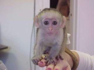 Home Trained Baby Face Capuchin For Sale
