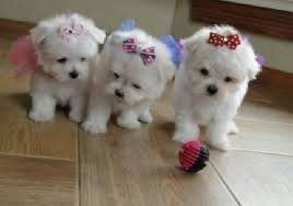 teacup maltese puppies call or text 443 294-2870