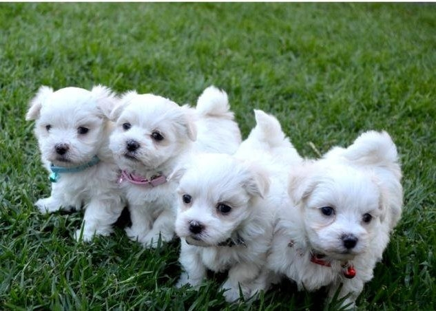HEALTHY 12 WEEK OLD MALTESE PUPPIES FLORIDA For sale Tallahassee