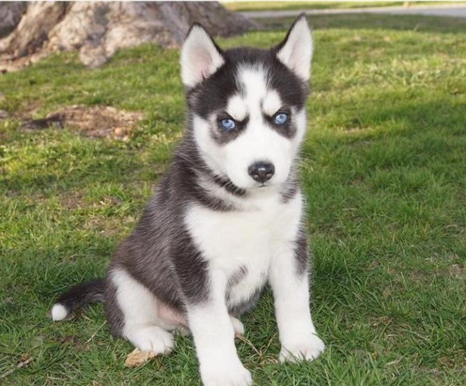 Blue Eyes Siberian huskies for new homes