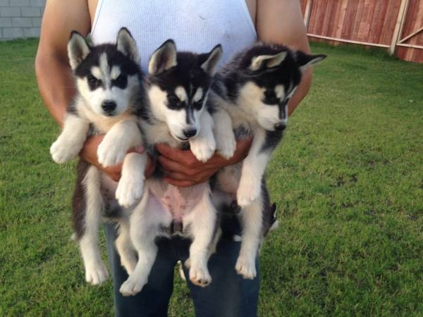 Purebred Siberian Husky Puppies Atlanta