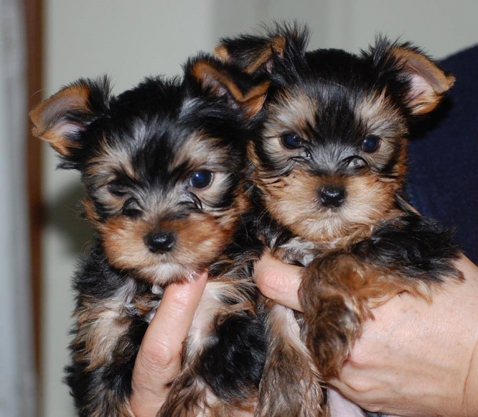 Quality Tiny Yorkie Pups Text Or Call 561 331 2432 El Paso For Sale