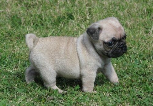 AVAILABLE X-MAS PACKAGE PUG PUPS SMS 443 267-8170 SAN ANTONIO For