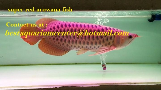 Arowana fish for sale united states pets 1 for Red arowana fish for sale in usa