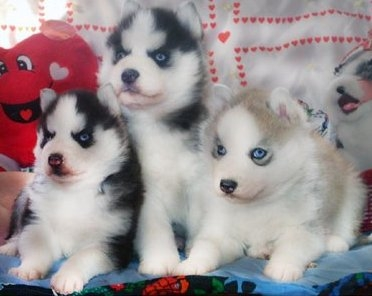 Very Playful And Friendly Siberian Husky Puppies With Blue Eyes