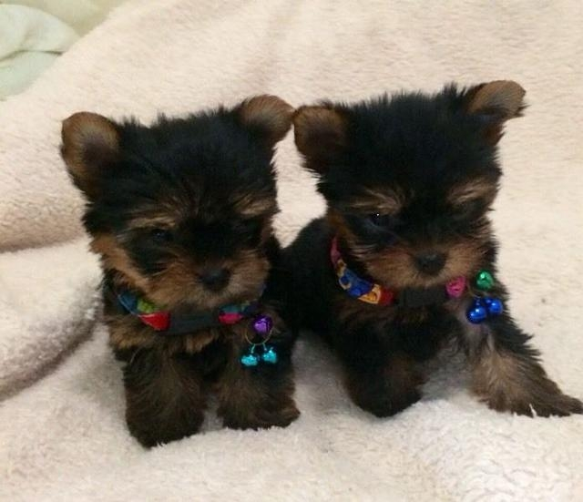 AMAZING TEACUP YORKIE PUPPIES FOR ADOPTION TEXT 609 536-9707 LAFAYETTE For  sale Lake Charles Pets Dogs