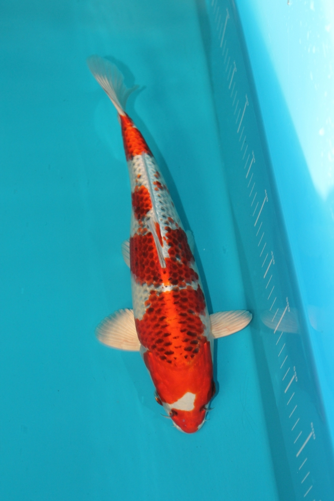 Smoke shop for sale united states 1 for Japanese koi breeders
