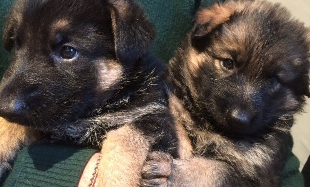 Hhghghg Akc Registered German Shepherd Puppies Available Topeka For