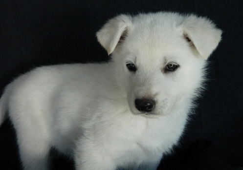 Pijbfdd Akc Registered German Shepherd Puppies Available Fresno For
