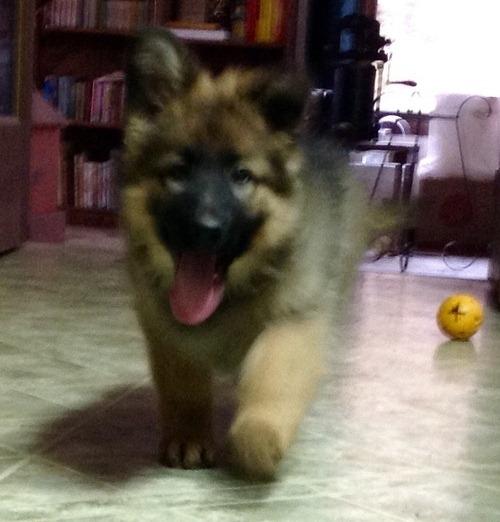 German Shepherd Puppies For A Good Home Kentucky Offer Lexington