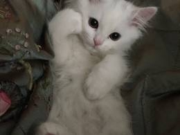 british short hair cute kitten for sale