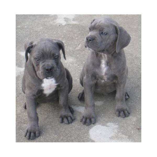 Cane Corso Puppies for sale male and female please text 646-434-8597