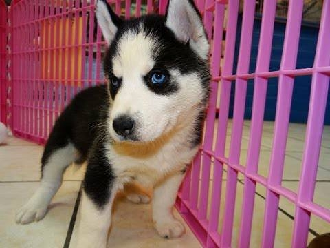 Loving sweet heart Siberian Husky puppies Text me @ 832 802-2396