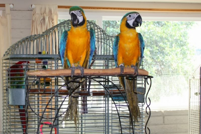 African and macaw Parrots available