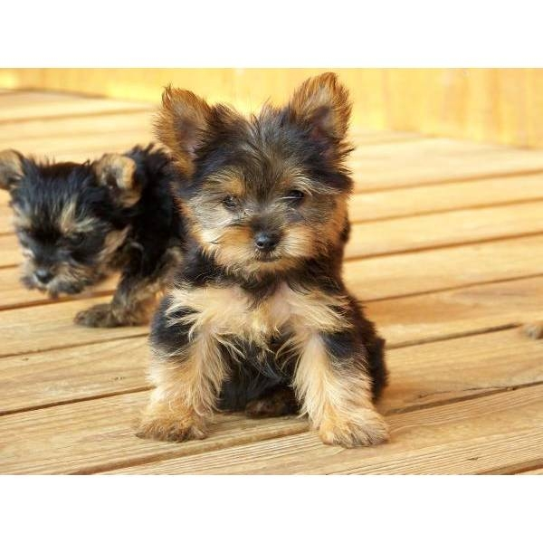 Tiny Teddy Bear Yorkie Pups Still Water Offer Oklahoma City