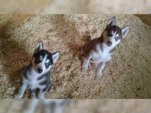 OMSKY Husky X Pomeranian MALE and FEMALE meet..Kelly and Bella