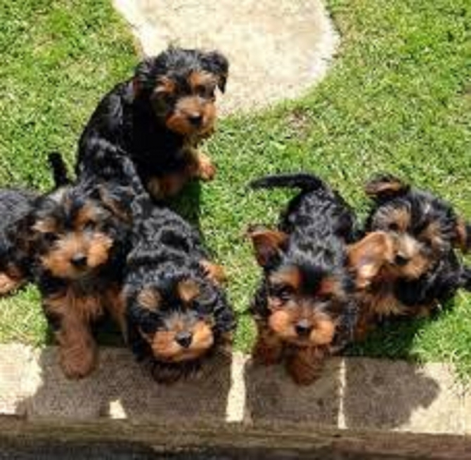 Cute Male And Female Affectionate Yorkie Puppy Columbus