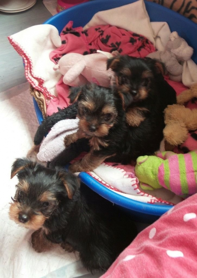 Top Quality Teacup Yorkie Pups for Sale