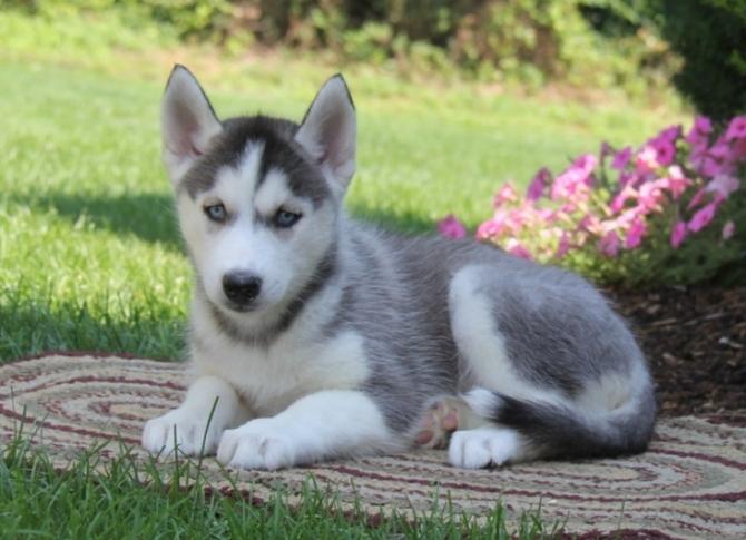 Sweet Husky Puppies