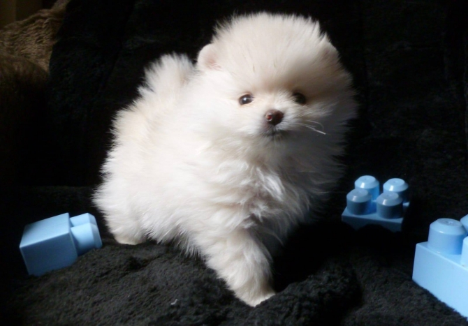 Top Cute Akc Tea Cup Pomeranian Puppies Now Available 832 779 6173