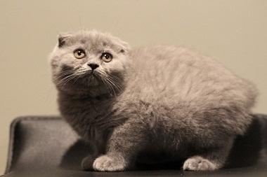 LITTER OF SCOTTISH FOLD KITTENS FOR SALE PHOENIX For sale Phoenix Pets Cats