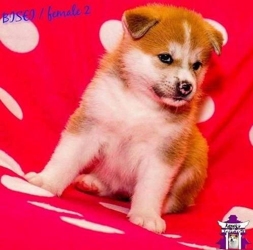 Pure Bred Japanese Akita Puppy San Jose For Sale San Francisco South
