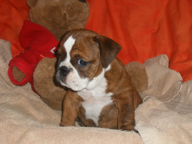 lovely healhty english Bulldog for asle