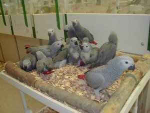 ***African grey parrots for adoption***