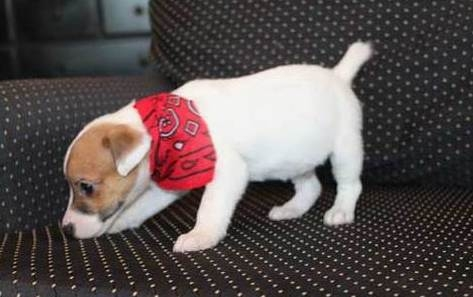 short legged jack russell pups available