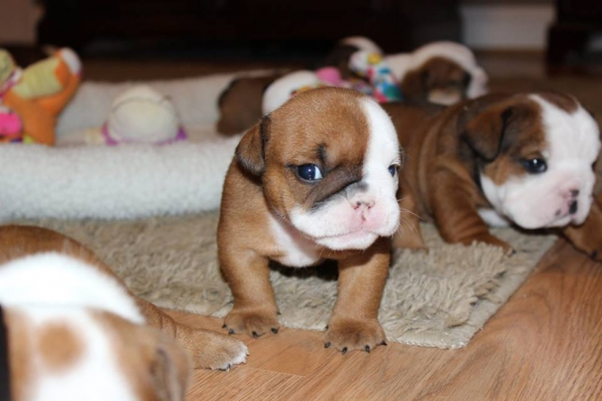 English Bulldog Puppies For Sale Long Beach For Sale Los Angeles