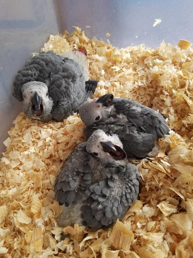 7 wk Baby African Greys
