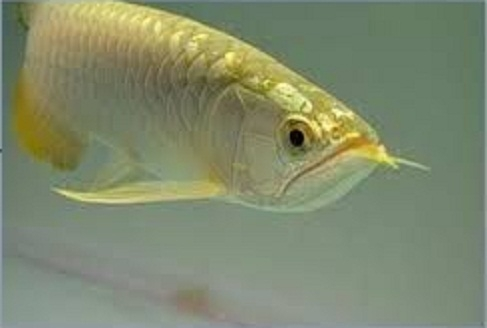 Arowana live fish for sale for sale united states 1 for Arowana fish for sale online