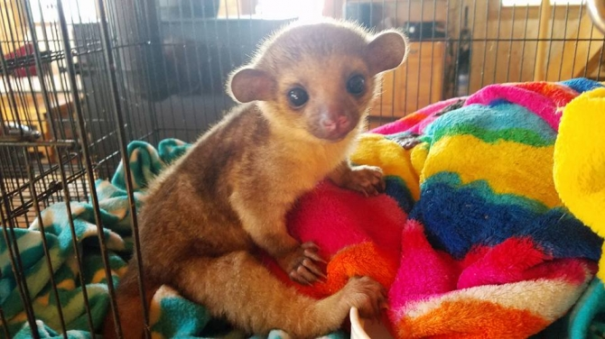 Fennec Fox , Kinkajou and Spotted Genets for sale