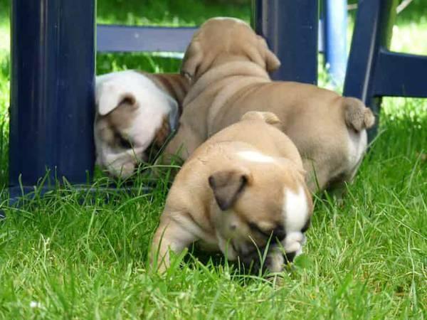 Quality English Bulldog Puppies 89120 For Sale Las Vegas