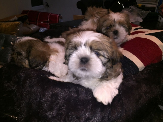 Four Shih Tzu imperial teacup puppies for sale.