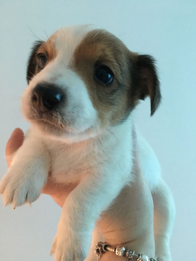 temperament Jack Russell puppies for sale