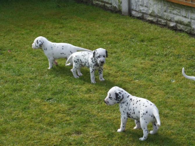 For Sale Gorgeous Dalmatian Pups Houston For Sale Houston Pets Dogs
